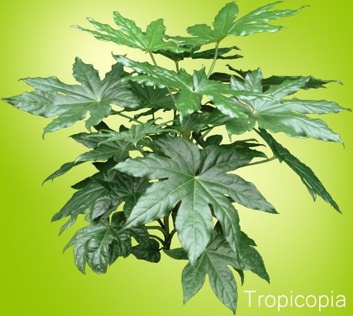 how to grow fatsia plants caret guide houseplant 411 how to identify and - House Plant Identification Guide By Picture