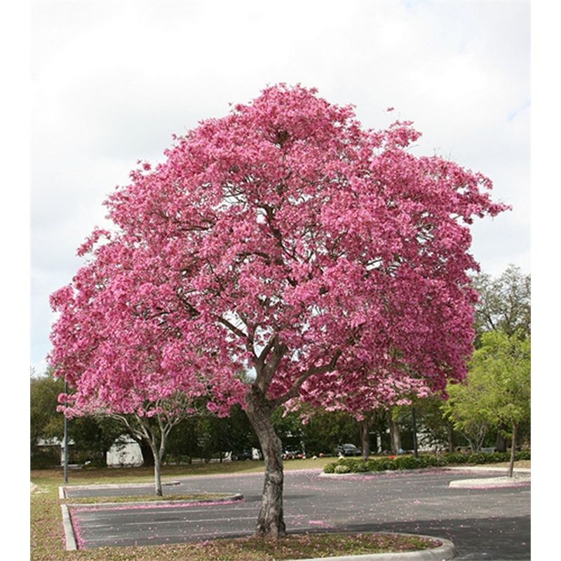Find 200mm Tabebuia Palmeri Pink Trumpet Tree At Bunnings Warehouse Visit Your Local For