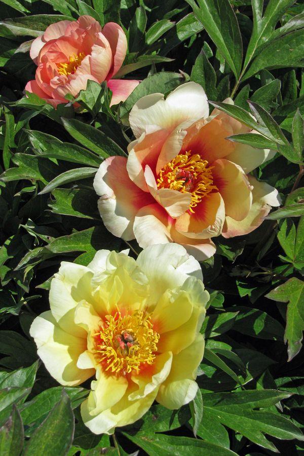 Misaka Beautiful Blossom Itoh Peony Monrovia Misaka