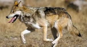 pictures of wolves in the wild - Google Search