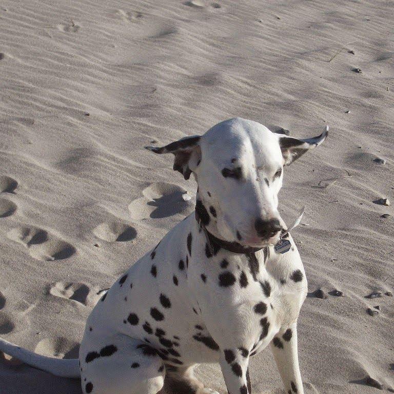 Ich Hor Das Wochenende Kommen Dalmatiner Hund Strand Wochenende Animals Pitbulls Dogs