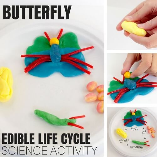 Edible Butterfly Life Cycle Activity (With Images