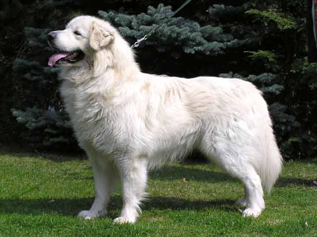 7 Dogs That Look Like Polar Bears The Dog People By Rover Com In 2020 Large Dog Breeds Dog Breeds Dogs