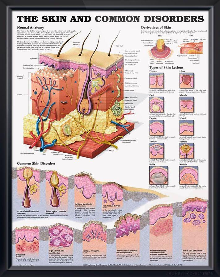 Skin And Common Disorders Chart 20x26 Health Skin Anatomy Skin