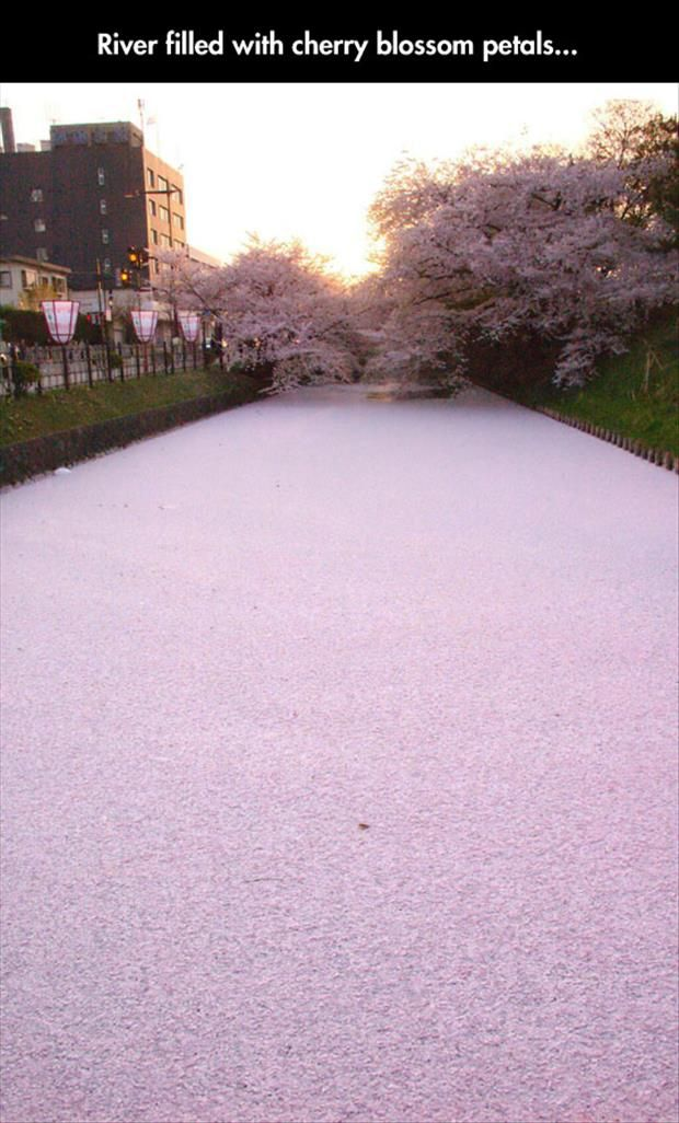 Random Pictures Of The Day 125 Pics Cherry Blossom Petals