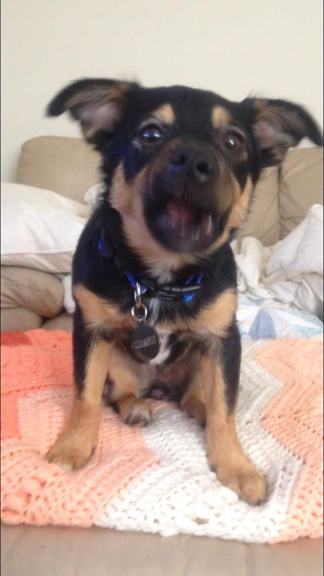 This Is Gary He S A German Shepherd Corgi Pug Chihuahua Mix