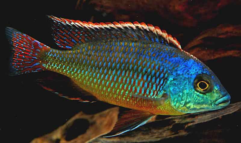 Pretty rainbow hap why keep malawi cichlids malawit for Tropical fish species