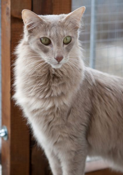 7 Rare and Beautiful Cat Colors #catbreeds