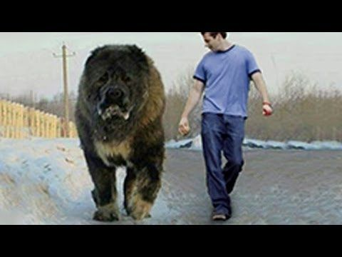 Biggest Dog Found On Earth Caucasian Shepherd Kangal Pitbull