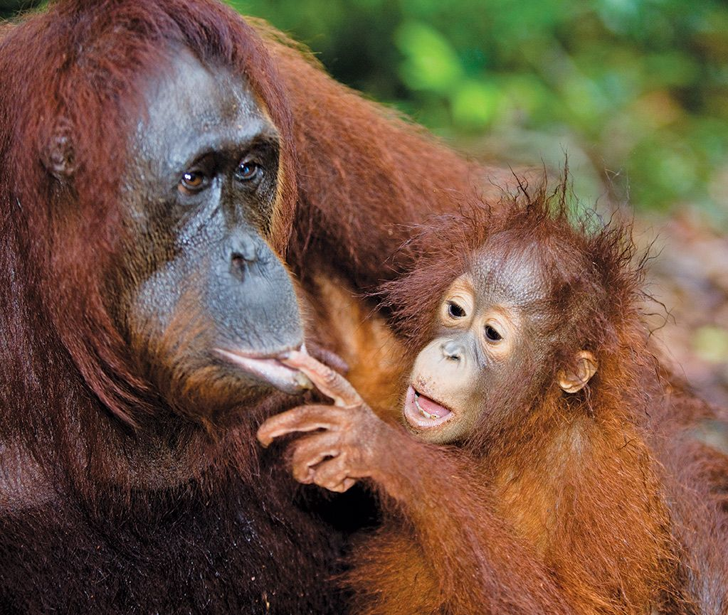 Did you know that the word orangutan comes from the Malay