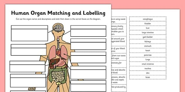Human Organ Matching And Labelling Activity