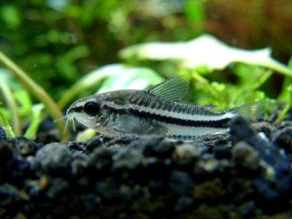 Pygmy Corydoras Sooo Cute Adding A School To Tank Next Week Tropical Fish Pictures Tropical Fish Aquarium Fish