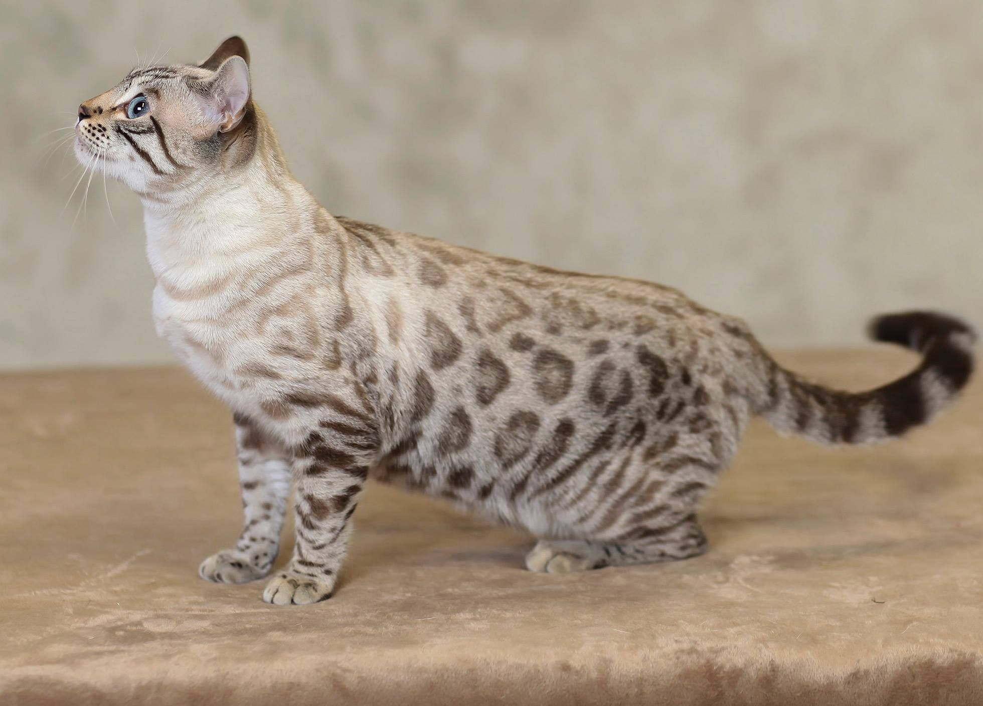 Look at that snow bengal! From eye color i think its a seal lynx ...