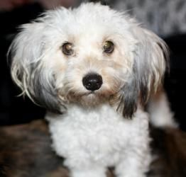 Pumpkin Harris Is An Adoptable Havanese Dog In Houston Tx It S A Dog S Life At Least That Is How The Saying Goes However No On Havanese Dogs Dogs Havanese