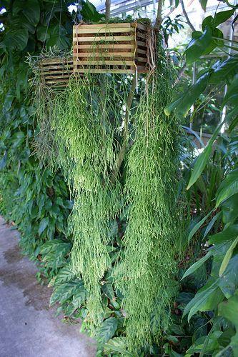 rhipsalis clavata epiphytic cactus h ngepflanzen wohnung pinterest pflanzen. Black Bedroom Furniture Sets. Home Design Ideas