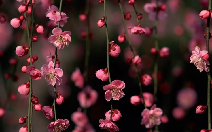 Cherry Blossoms Flowers Hanging Wallpaper Background