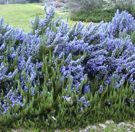 Quot Tuscan Blue Quot Rosemary Growing Shrubs Outdoor