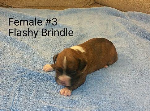 Boxer Puppy For Sale In Corydon In Adn 28354 On Puppyfinder Com