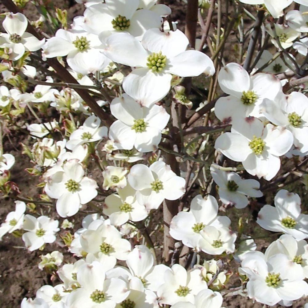 Cornus Florida Cherokee Daybreak White Flowering Dogwood Tree