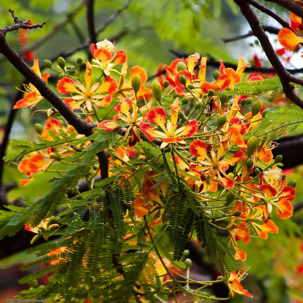 Flamboyant - Delonix regia | by chris.diewald