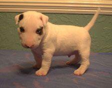Miniature Bull Terrier Puppies Ca