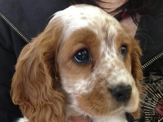 For Sale Spanalier Cavocker Cocker Spaniel X Cavalier