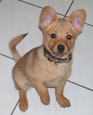 Pomchi Pom Chihuahua Hybrid Pomchis Chi Pom Chiranian Pomchi Puppies Hybrid Dogs Dog Breeds