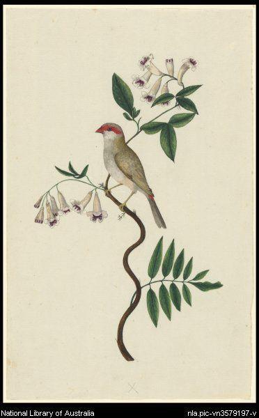 Raper, George, 1769-1796. [Red-browed finch (Neochmia temporalis)] [picture]