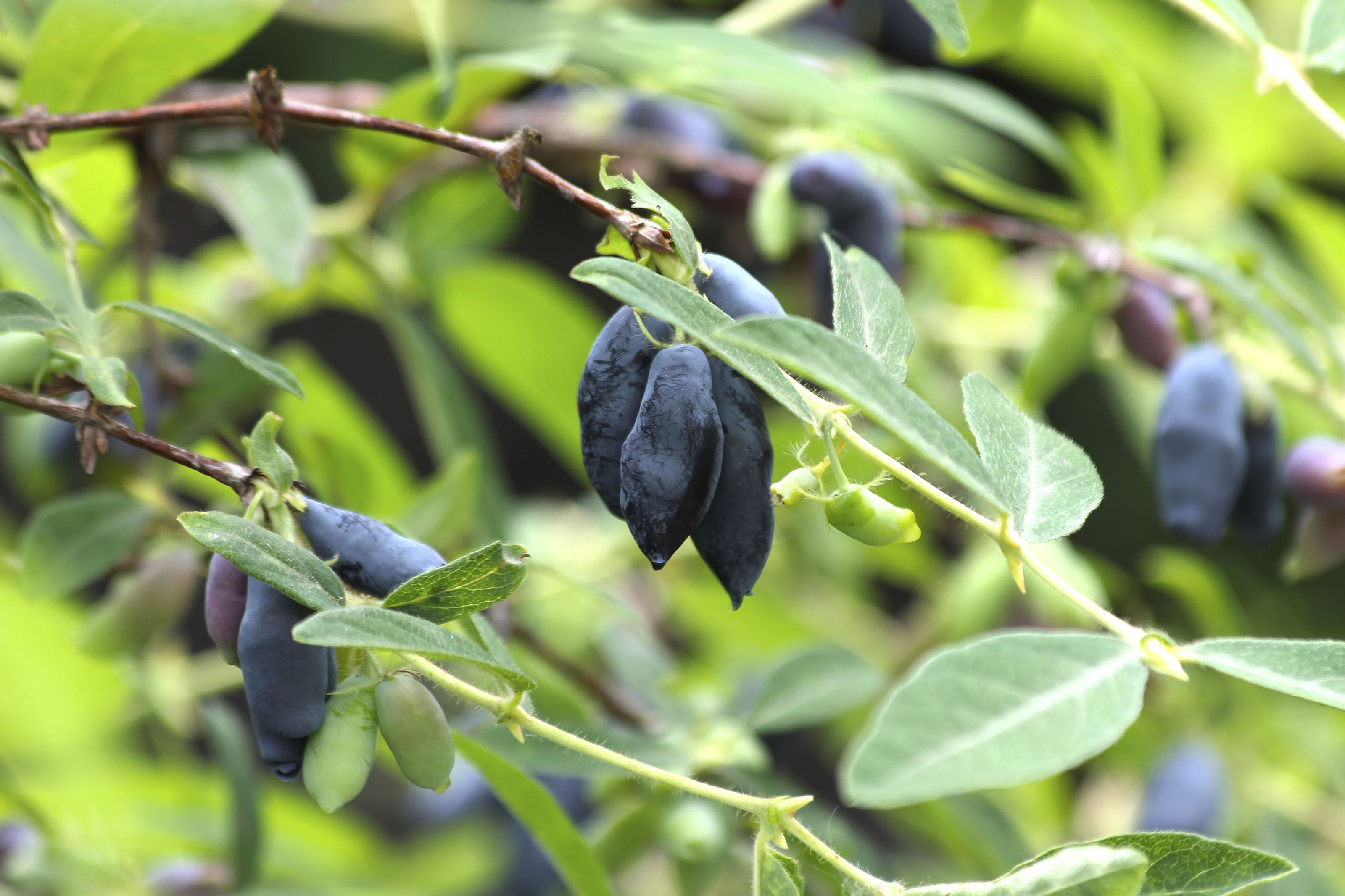 honeyberry blue moon at backyard fruit grapes and berries
