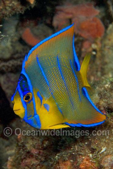 Queen Angelfish Juvenile Photo 45m1000 50 Saltwater Aquarium Fish Sea Fish Angel Fish