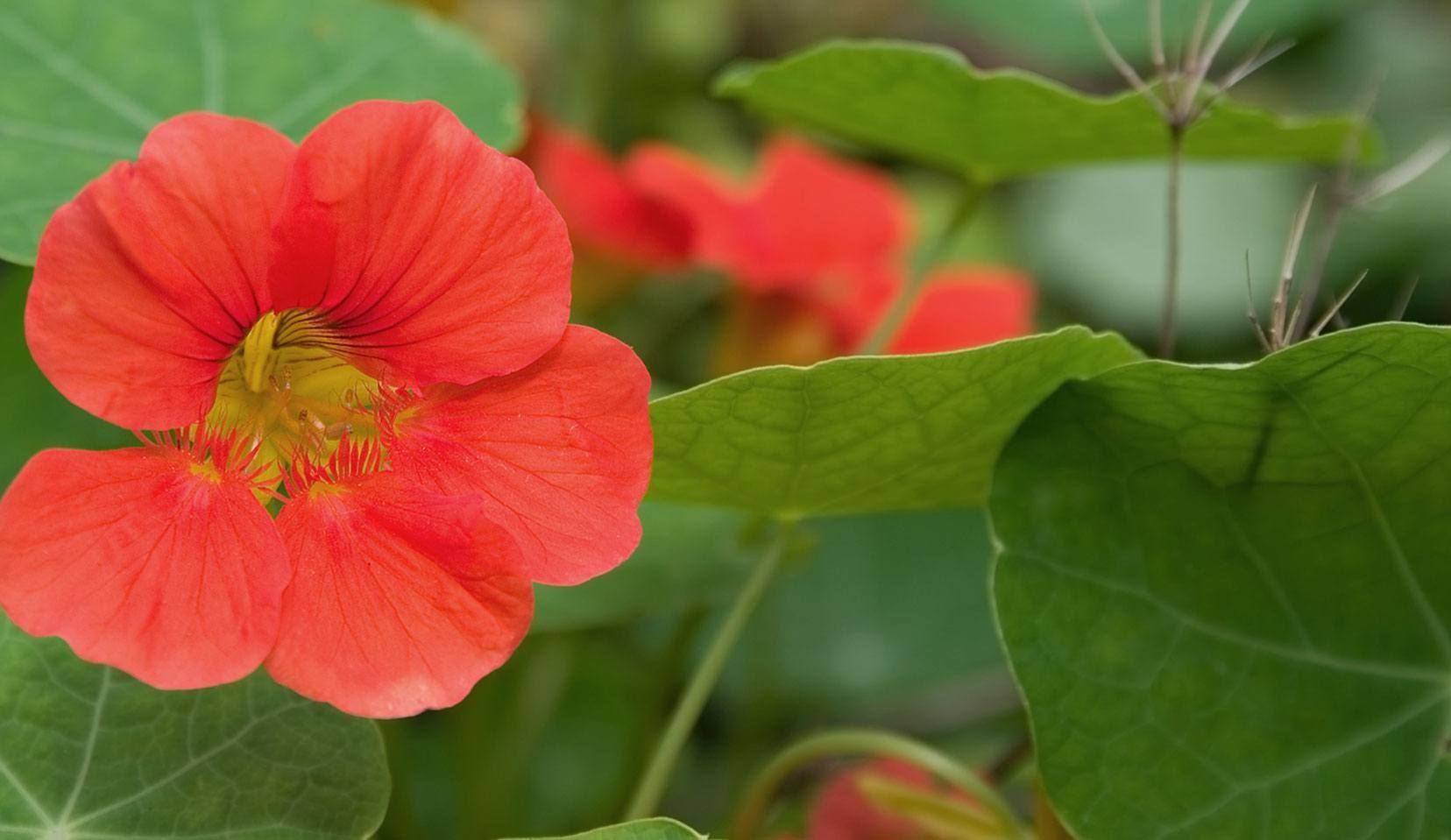 Nasturtium - The nasturtium appears to combine in itself irreconcilable opposites. The succulent leaves are a strong expression of its aqueous element. They are topped by the flowers like little crowns of fire which have a bird-like, airy quality. Water and fire are also combined within the nasturtium, all the cells being filled with a water-soluble form of the sulfuric, fiery benzyl mustard oil. The balancing properties make nasturtium helpful to products for oily, blemished skin.