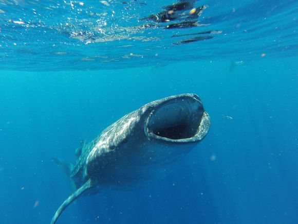 Whale shark encounter in Mexico! #toptrip