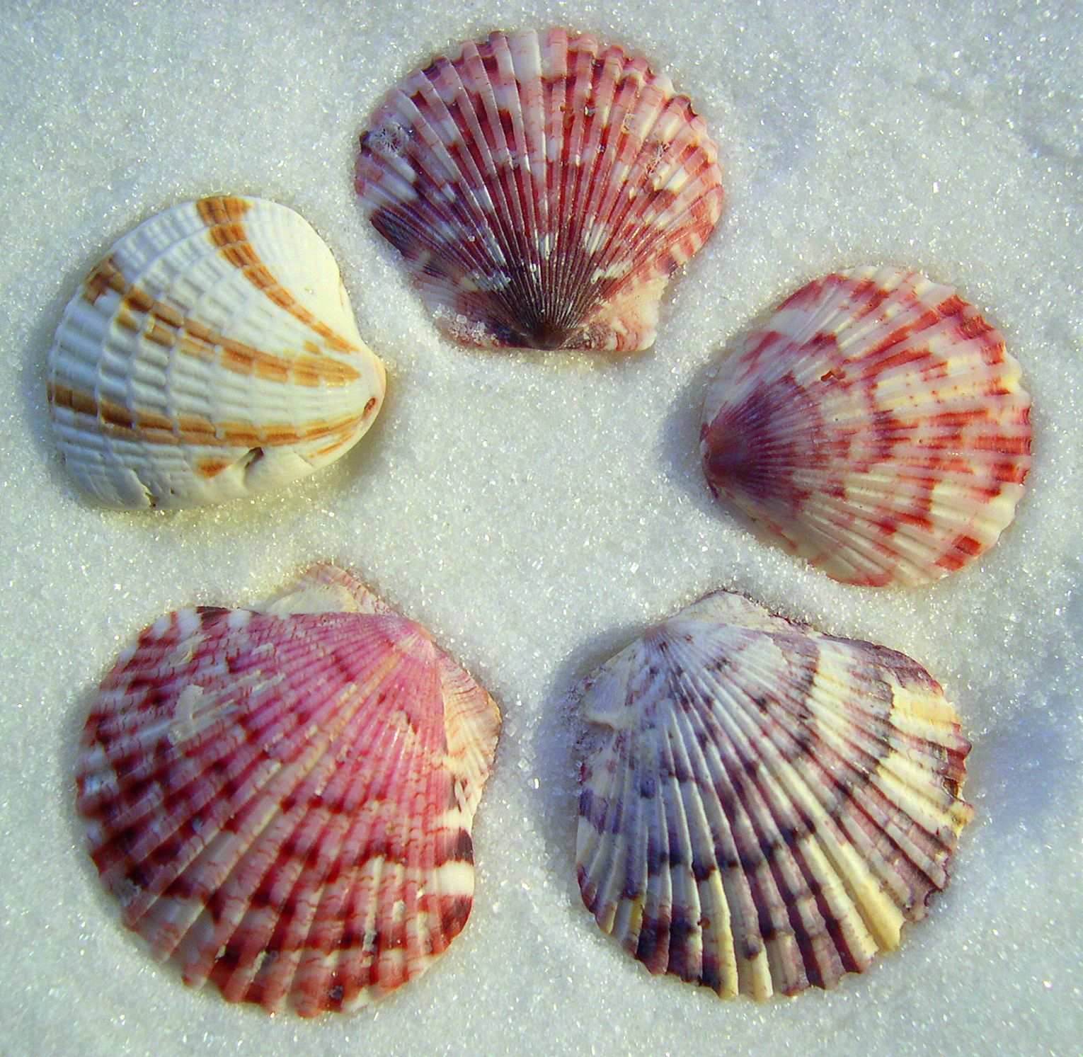 Colorful pictures of seashells seashell driveway seashells by three scallop shells and one cross barred venus shell biocorpaavc Image collections