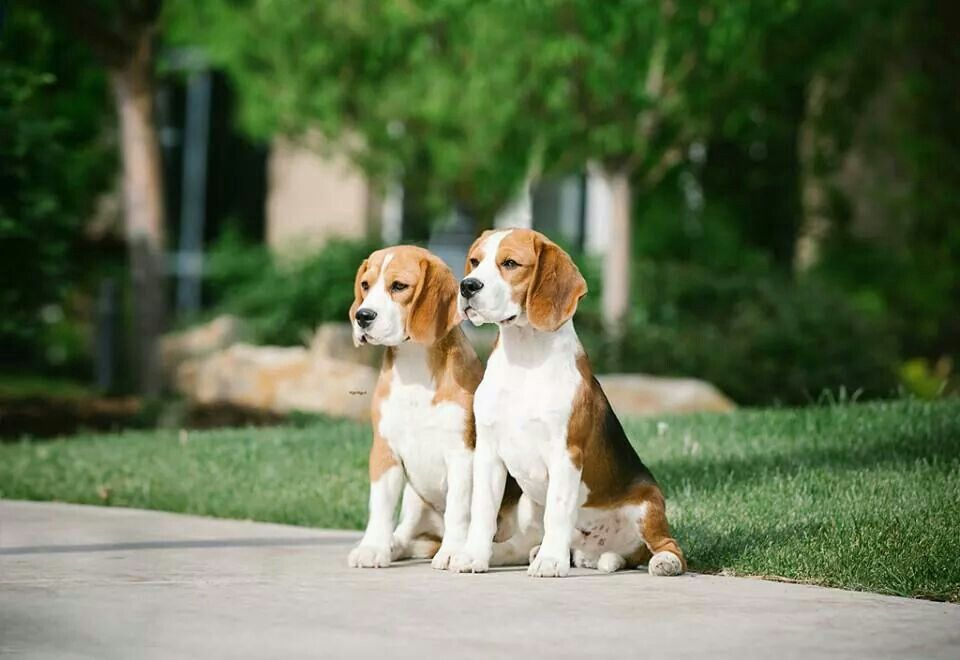 Beagles Beagle Buddies Cute Dogs Images Photos With Dog