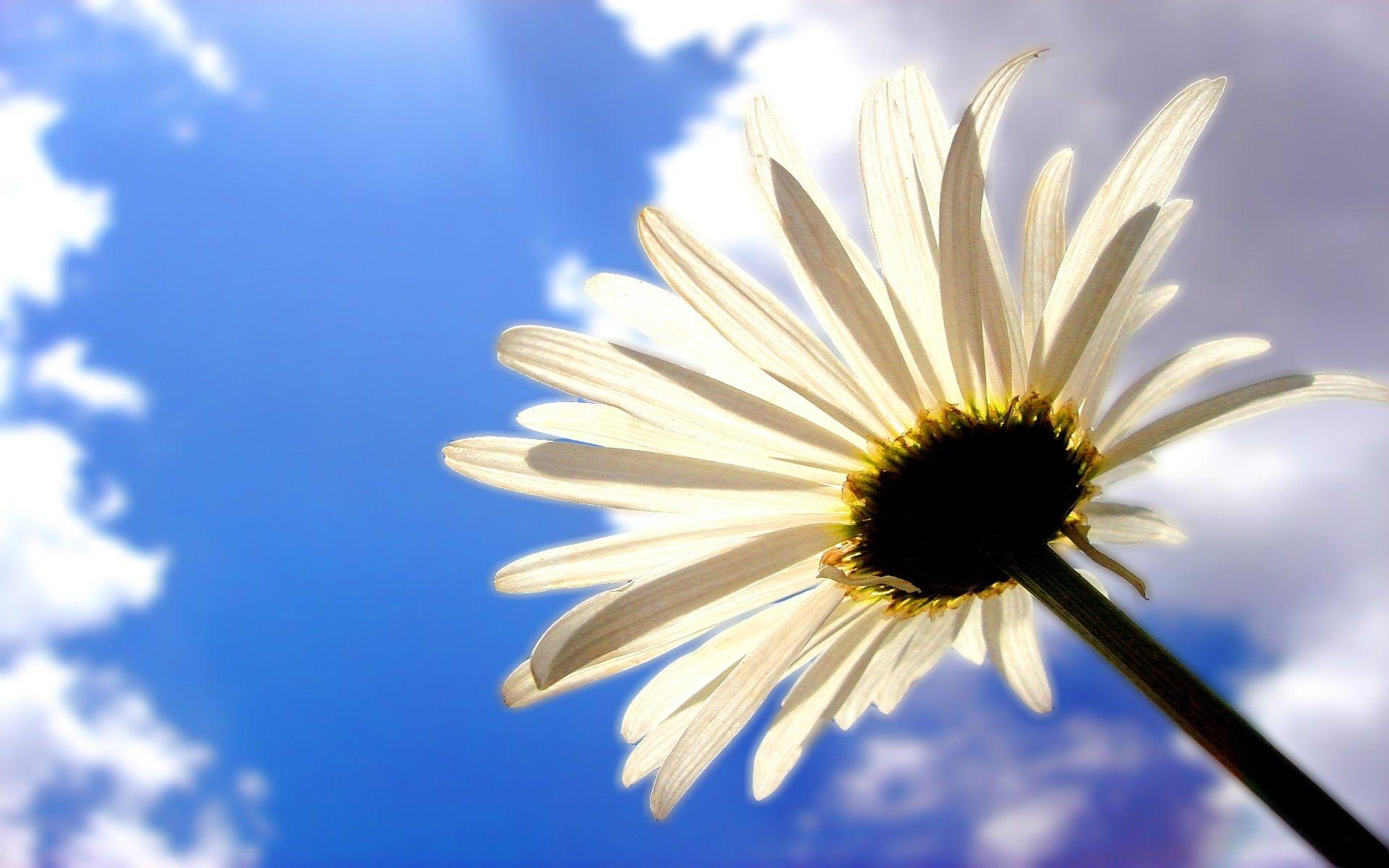 Daisy Flower in Sunlight Flowers, Beautiful wallpapers