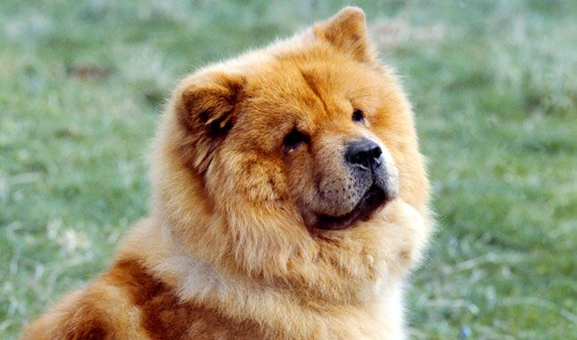 Chow Chows Tend To Attach Themselves To One Person And Require