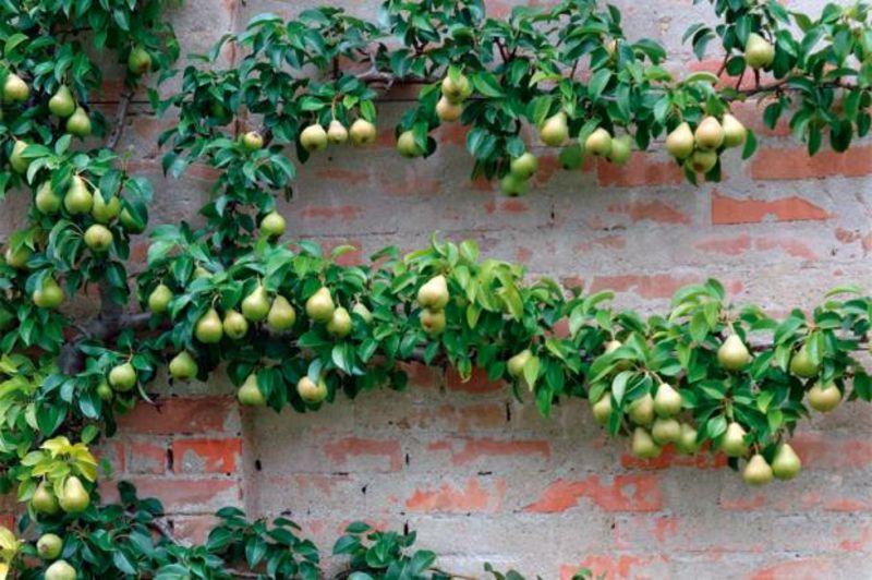 spalierobst anbauen herrliche idee fr den kleinen garten - Terrasse Im Garten Herausvorderungen