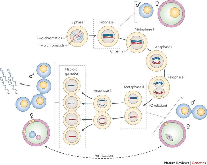 All stages of meiosis diagram diagram pinterest all stages of meiosis diagram ccuart Image collections