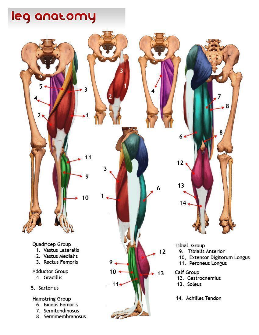 Anatomia pierna Más | Anatomia | Pinterest | Piernas, Anatomía y ...