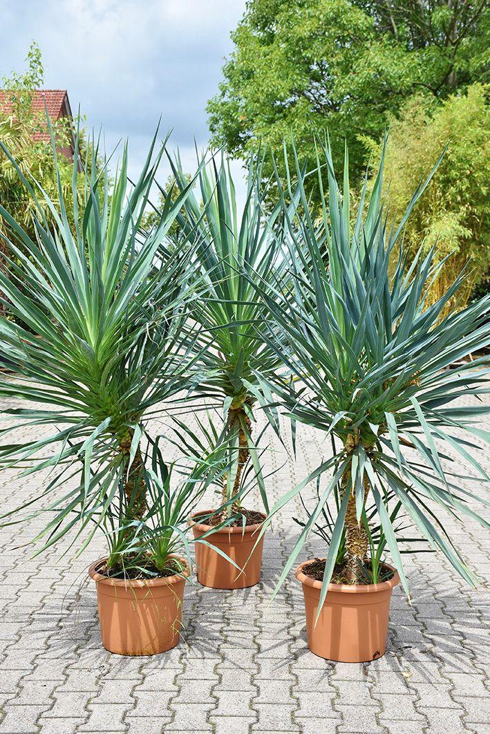 Yucca Kerzen Palmlilie 180 200cm Palmlilie Pflanzen Und Yucca