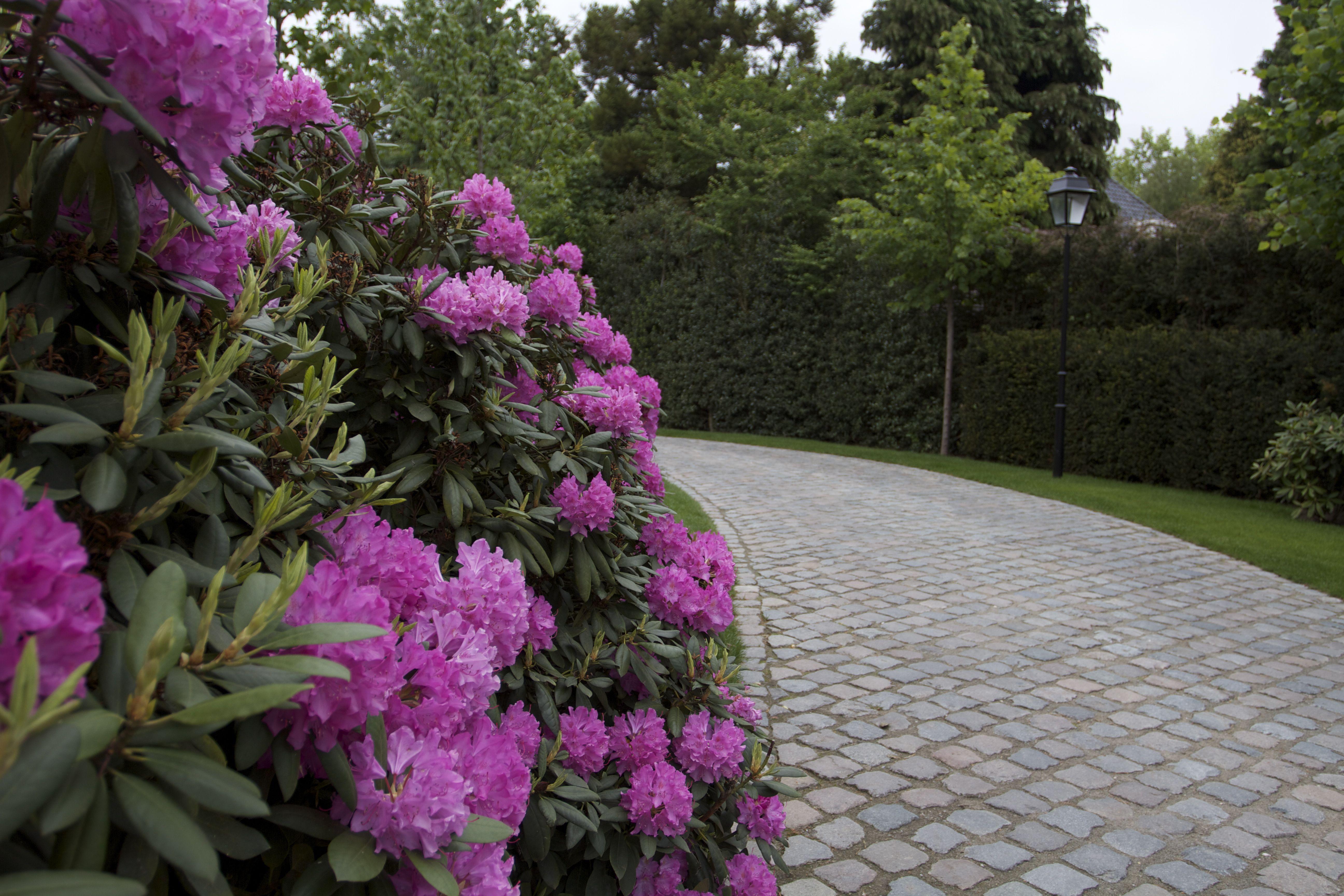 Van Raaijen Hoveniers Almere - traditionele tuin - Rododendrons