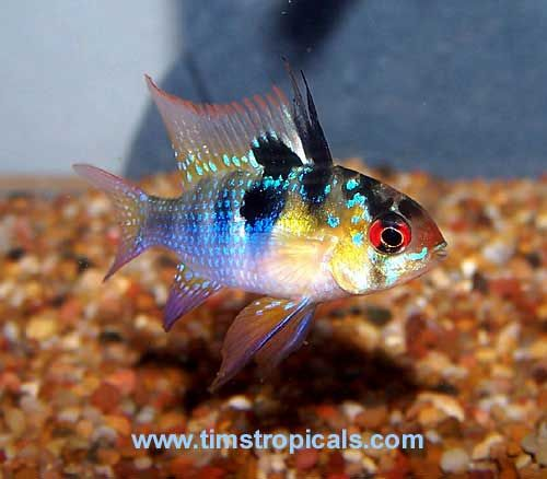 German Blue Ram Mikrogeophagus Ramirezi Tropical Fish Pictures Tropical Fish Aquarium Fish