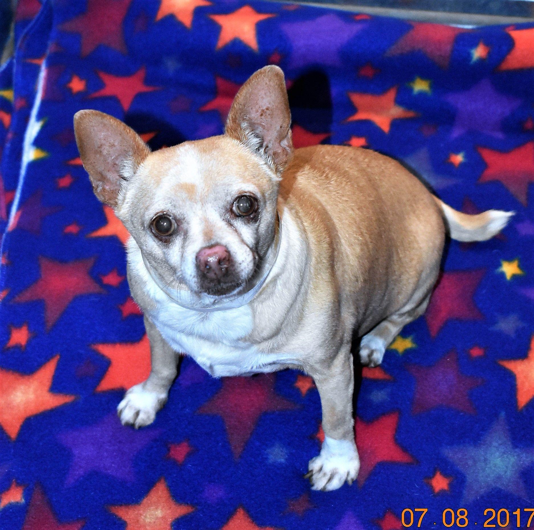 Chihuahua dog for Adoption in San Jacinto, CA. ADN591928