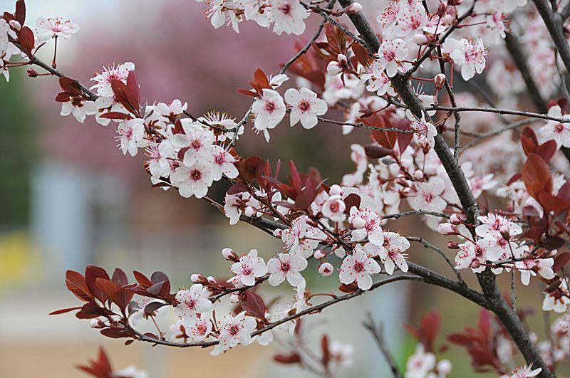 Purple Leaf Sand Cherry Prunus X Cistena