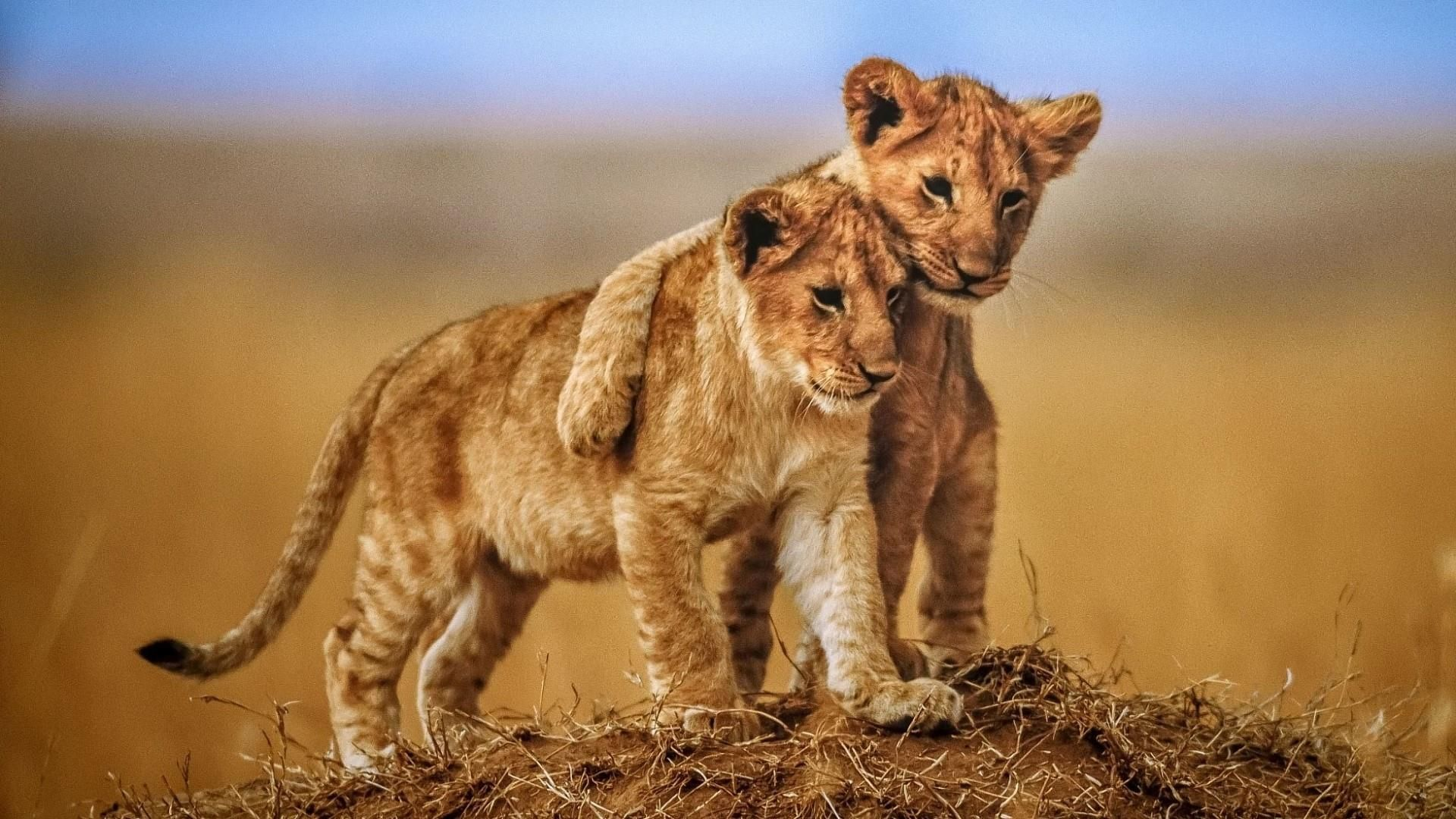 Cute Lion Cubs Wallpaper Animals Beautiful Lion Photography