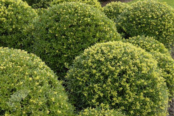 ilex crenata dark green 39 icoprins11 39 pbr garden. Black Bedroom Furniture Sets. Home Design Ideas