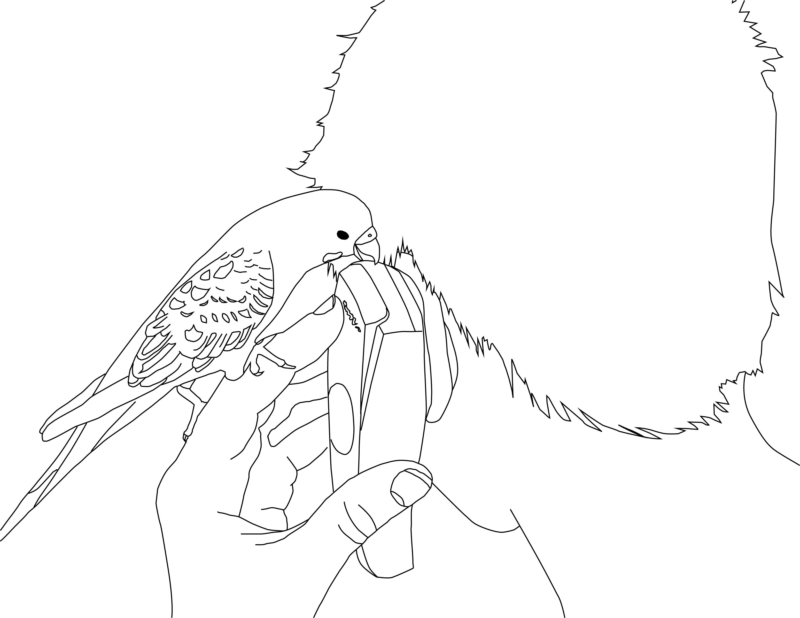 Parakeet Coloring Pages  Parakeet  Pinterest  Parakeets