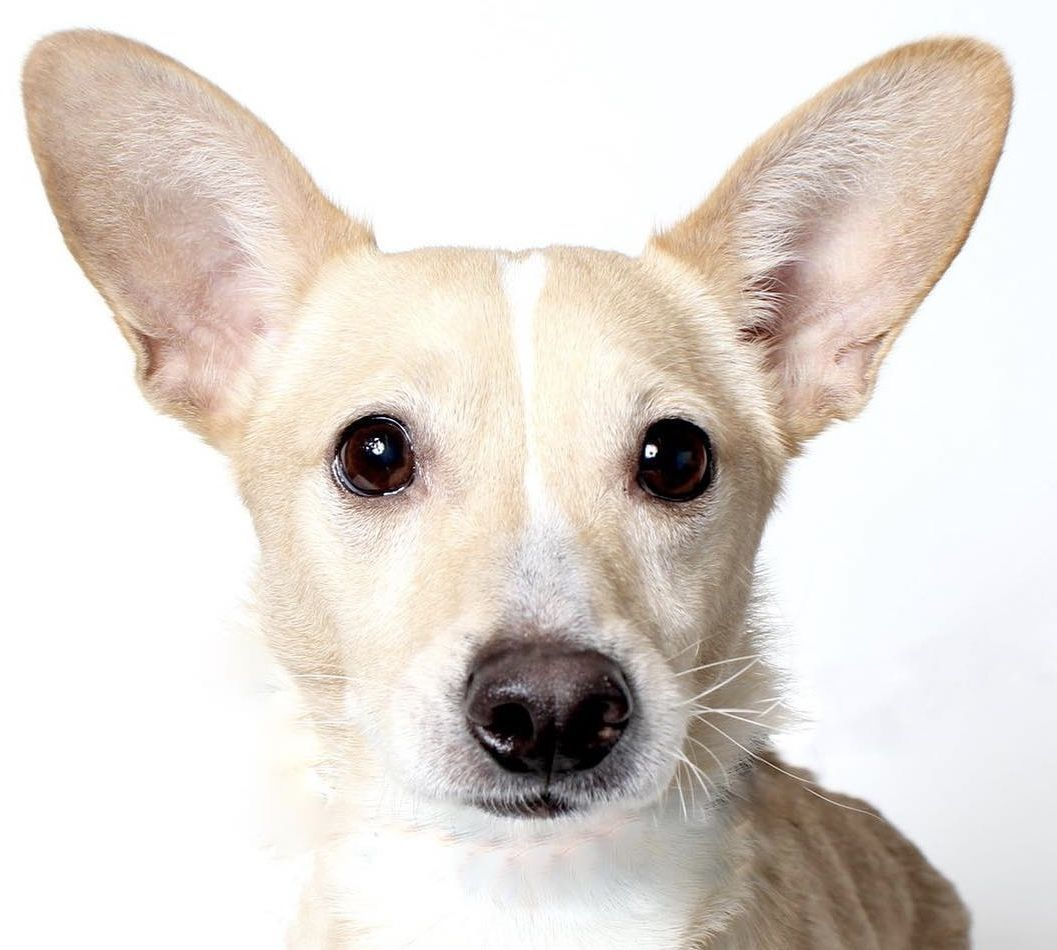 Introducing The Worlds Cutest Corgi Chihuahua Mix Harvard This Tan And White Love Bug Is 3 Years Old And Weig Corgi Chihuahua Mix Wags And Walks Dog Adoption