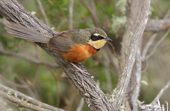 Olive-crowned Crescentchest - Argentina, Bolivia, and Paraguay