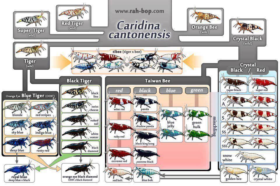 Cardina Shrimp Types Artropodes Peixes Camarao